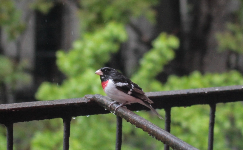 Notes from the Feeder: Rose-breasted Grosbeak