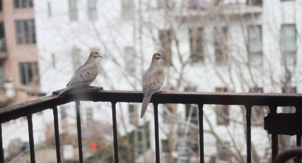 Mourning Doves on Fire Escape