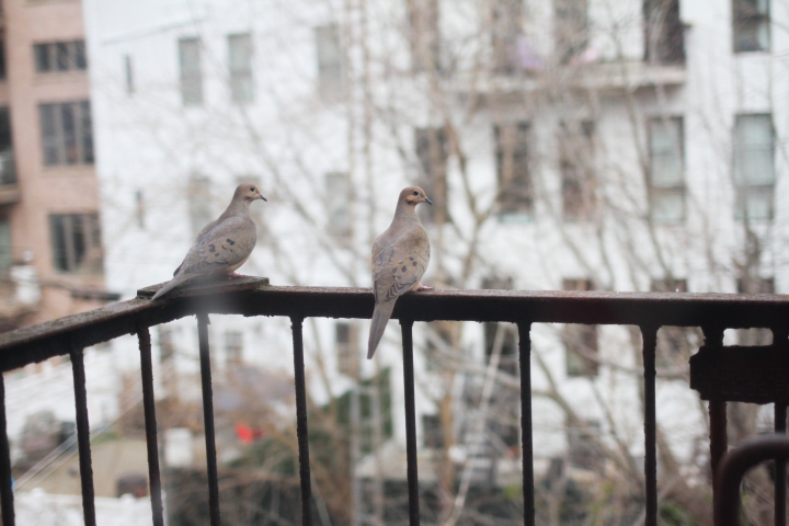 Mourning Doves for a Difficult Moment